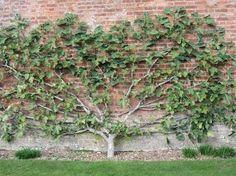 espalier fig tree - Google Search
