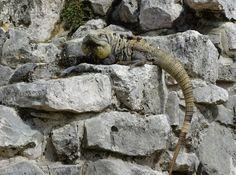 Mundo Maya. Мексика. Игуаны на руинах Тулум