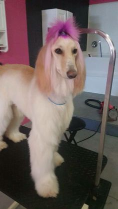 Beautiful Afghan Hound groomed and with s hot pink ponytail. If anyone knows who groomed this dog, please tag them. I was sent the image without any credits