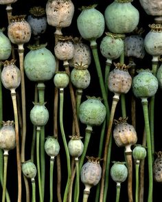 Poppy papaver seed pods