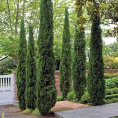 Need privacy trees to help block out your neighbor? Our privacy trees are the perfect solution! Pick and order your fresh privacy trees online today for FAST delivery! Garden Shrubs, Landscaping Plants, Landscaping Ideas, Landscaping Software, Garden Pots, Blue Point Juniper, Italian Cypress Trees, Cupressus Sempervirens, Privacy Trees