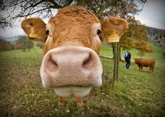 A cow [15/365] by publicenergy, via Flickr
