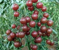 3x-Tomato-Black-Cherry-PLUG-PLANTS-Exotic-Looking-Blackish-Purple-Tom