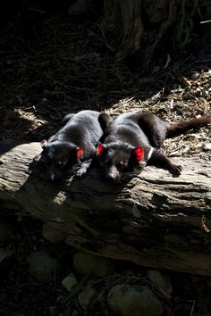 Red Ears In The Sun. Tasmanian Devils basking in the sun at Healesville Sanctuary in Victoria, Australia. eir ears glow!
