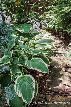15 Stunning Perennial Ground Cover Plants That Thrive in the Shade - Gardening @ From House To Home I LOVE these perennial ground cover plants that love the shade. There are so many pretty flowers for my shade garden, I can't decide which ones to get! Perennial Ground Cover, Ground Cover Plants, Dwarf Plants, Tall Plants, Flowering Plants, Shade Loving Shrubs, Shade Trees, Ground Orchids, Plants Under Trees