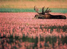 """moose in a field of flowers   when a """"moose"""" becomes a most exquisite being of great beauty in a field of petit pink posies!!!"""