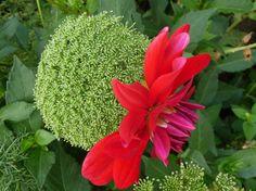 Ammi visnaga et dahlia cactus à fleurs rouges, Jardin des Serres d'Auteuil, Paris 16e (75), 26 août 2012, photo Alain Delavie  http://www.pariscotejardin.fr/2012/08/duo-d-ammi-et-de-dahlia-rouge/