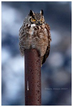Great Horned Owl by *Nate-Zeman on deviantART