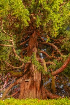Coastal Redwood Tree, Giant Sequoia in Victoria B.C. Canada (Sequoiadendron…