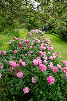 Peony border. Pfingstrosen. Just a picture. This would be heaven on our little prairie farm!
