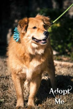 Muffin  Golden Retriever & Chow Chow Mix • Adult • Female • Large  Collin County Humane Society McKinney, TX