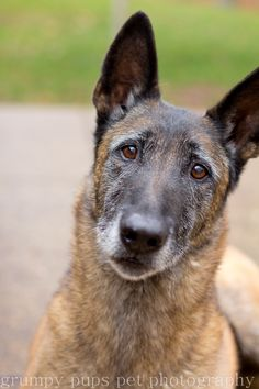 Such an expressive, intelligent face. Belgium Malinois, Belgian Malinois Dog, Brave Animals, Dog Expressions, Military Working Dogs, Black And White Dog, Hiking Dogs, War Dogs, Police Dogs