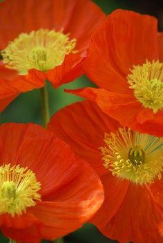 Hot Orange Poppies