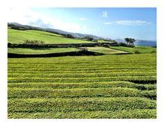 Tea plantage, Sao Miguel island, in the Azores (Portugal) 2013