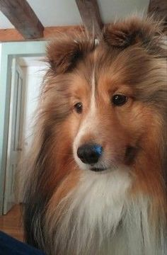 Baby Dogs, Pet Dogs, Dogs And Puppies, Dog Cat, Sheep Dogs, Doggies, Pets, Rough Collie, Collie Dog