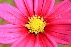 Naturfotografie Foto Makro pinke Cosmeablüte von ArtvanArnhem, €20.00