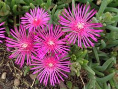 Hardy Ice Plant (Delosperma cooperi) Fluorescent-pink blooms cover hardy ice plant all summer long. This drought-tolerant perennial craves s. Small Gardens, Outdoor Gardens, Modern Gardens, Japanese Gardens, Delosperma Cooperi, Cactus, Ice Plant, Plant Table, Low Maintenance Plants