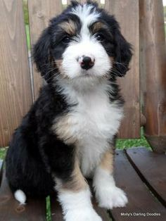 F1 Bernedoodle Puppies (Bernese mountain dog/Poodle cross)