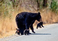 """loveforallbears:  """"A black bear mother with cubs in Big Bend National Park, Texas  Danita Delimont/Getty Images  """""""