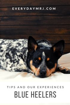 Madison Rose, Cattle Dogs, Posts, Blog, Animals, Messages, Animales, Animaux, Australian Cattle Dog