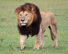 6202 Lion, Masai Mara, Kenya - now known to be Notch, formerly of the Mash Pride | Flickr - Photo Sharing!