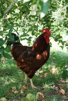 Chickens in the Orchard - I am planting 6 trees in our coup next month.