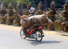 Transport de cochon sur la route d'Angkor Thom au Cambodge