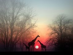 Sunset behind giraffes