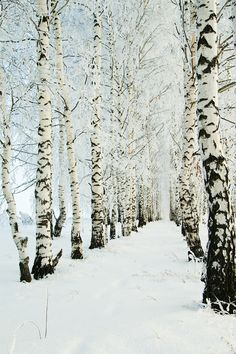 birch in the snow perfect aisle