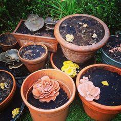 Pilze im Blumentopf auf Kaffeesatz selbst züchten. Foto vom  23. September. Rosenseitlinge, Austernpilze und Zitronenseitlinge. Eine Anleitung zum selber machen, gibt es auf www.pilzpaket.de:pilzzucht-blog: . #Kaffeesatz #Pilze #Pilzpaket #Geschenk