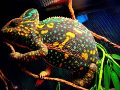 Chameleon   Female Veiled Chameleon Non-Receptive yet Beautiful Colors - Reptiles ...