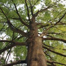 Fototapet - Tall Oak