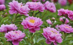 Im Mai sind Pfingstrosen die absoluten Stars im Beet und begeistern mit opulenten Blüten in Weiß, Gelb, Rosa oder Rot. Hier lesen Sie alles Wichtige zu Pflanzung und Pflege der hübschen Blüher.