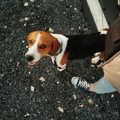 #beagledog #beagle #dog