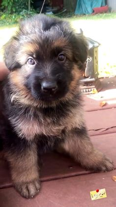Such a little floofer 🐾😍 - Welpen Cute Baby Puppies, Gsd Puppies, Rottweiler Puppies, Retriever Puppies, Cute Funny Animals, Cute Baby Animals, Beautiful Dogs, Animals Beautiful, Chien Golden Retriever