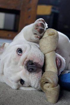Bulldog won't give up it's bone!