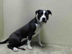 ^^SUPER URGENTS^^ 4/29/14,   Brooklyn Center   COOKIE - A0997039   FEMALE, BLACK / WHITE, PIT BULL MIX, 2 yrs  STRAY - ++++++FRIENDLY PERFECT BEAUTY+++++++