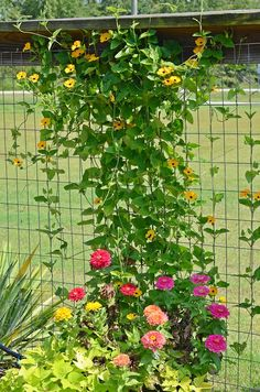 Zinnias and black eye susan vine need on the garden fence- Cottage at the Crossroads