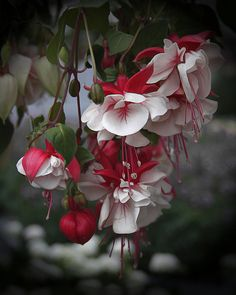 Fat ruffley fuchsias always make me think of ballerina tutus. I remember my gram showing us how to pull the stamens and lick the drop of nectar at their base...