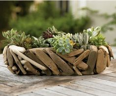 Succulents and driftwood