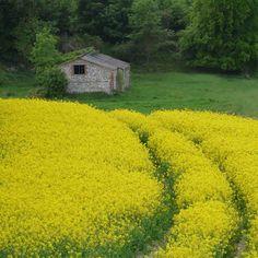 Rape seed crop, Wiltshire England