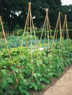Climbing French and runner beans are very productive vegetable garden plants ..