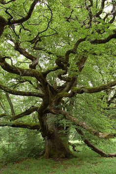 I picked/Chose this gallery because I absolutely Love oak trees. I think they are absolutely beautiful. And one amazing thing about them is how long they can actually live, its AMAZING!