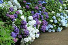 Blue Garden, Bougainvillea, Beautiful Gardens, Hydrangea, Garden Plants, Wedding Designs, Orchids, Garden Design, Landscape