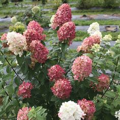 Buy Hydrangea Fire Light Shrubs Online. Garden Crossings Online Garden Center offers a large selection of Hydrangea Plants. Shop our Online Shrub catalog today.