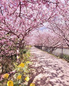 静岡県伊豆で、今年も、2017年2月10日(金)~3月10日(金)の期間、「第27回 河津桜まつり」が開催されます。寒い中美しく咲く河津桜を見に、毎年多くの人が訪れます。日本一早いお花見に注目ですよ。