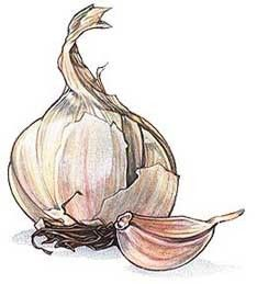 lovely line drawing of Garlic Allium sativa (Onion Family)