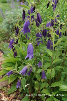 'Sarastro' bellflower (Campanula); Nancy J. Ondra at Hayefield