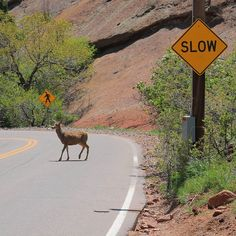 SLOW down pedestrians crossing...or in this case Deer. . .. ... #photography #travelmore #travel #nature_perfection #nature #RedRockPark #colorado #deer #animals #picoftheday #igers #igdaily #poem #photooftheday #vscocam #love #jj #roads #capture #hiking #hikingadventures by rylophotography