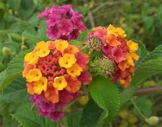 Lantana flower - LOVE this flower!!  So Fragrant and does well in planters =)